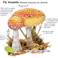 "From Fascinating Fungi of the Northwoods: ""Fly Aminita"""