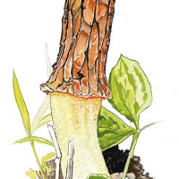 "From Fascinating Fungi of the Northwoods: ""Morchella"""