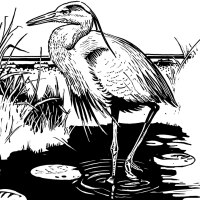 Scratchboard Blue Heron