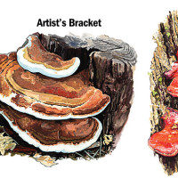 "From Fascinating Fungi: ""Bracket Fungi"""