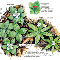 Bunchberry and Starflower