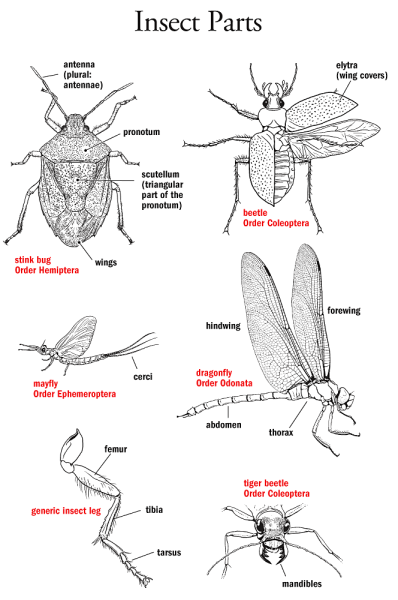 insect parts identification illustration. Black Bedroom Furniture Sets. Home Design Ideas