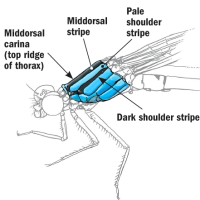 "From Dragonflies & Damselflies of the Rocky Mountains: ""Odonata ID"""