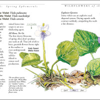 "From Wildflowers of the BWCA: ""Spring Ephemerals"""