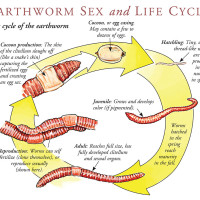 Earthworm Lifecycle